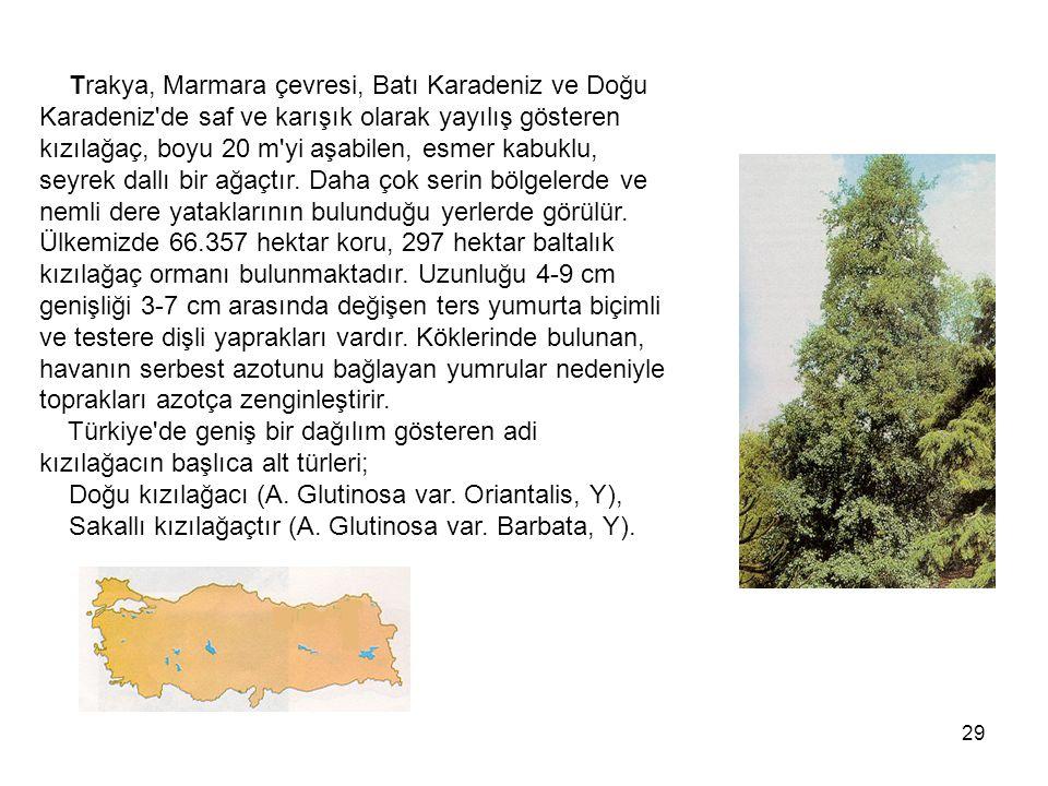 29 Trakya, Marmara çevresi, Batı Karadeniz ve Doğu Karadeniz de saf ve karışık olarak yayılış gösteren kızılağaç, boyu 20 m yi aşabilen, esmer kabuklu, seyrek dallı bir ağaçtır.