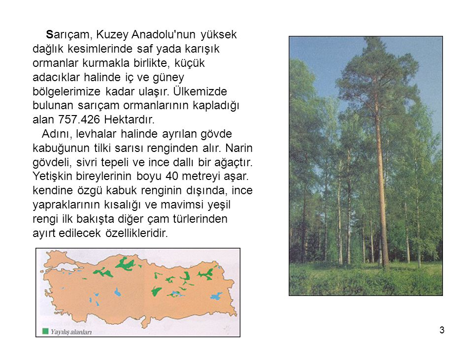3 Sarıçam, Kuzey Anadolu nun yüksek dağlık kesimlerinde saf yada karışık ormanlar kurmakla birlikte, küçük adacıklar halinde iç ve güney bölgelerimize kadar ulaşır.