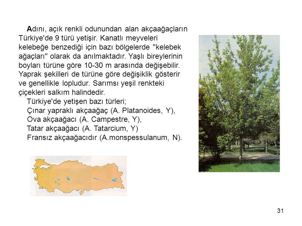 31 Adını, açık renkli odunundan alan akçaağaçların Türkiye de 9 türü yetişir.
