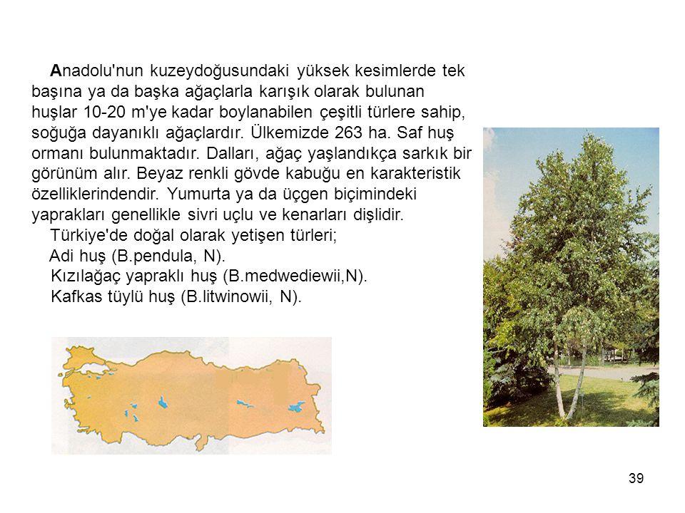 39 Anadolu nun kuzeydoğusundaki yüksek kesimlerde tek başına ya da başka ağaçlarla karışık olarak bulunan huşlar 10-20 m ye kadar boylanabilen çeşitli türlere sahip, soğuğa dayanıklı ağaçlardır.