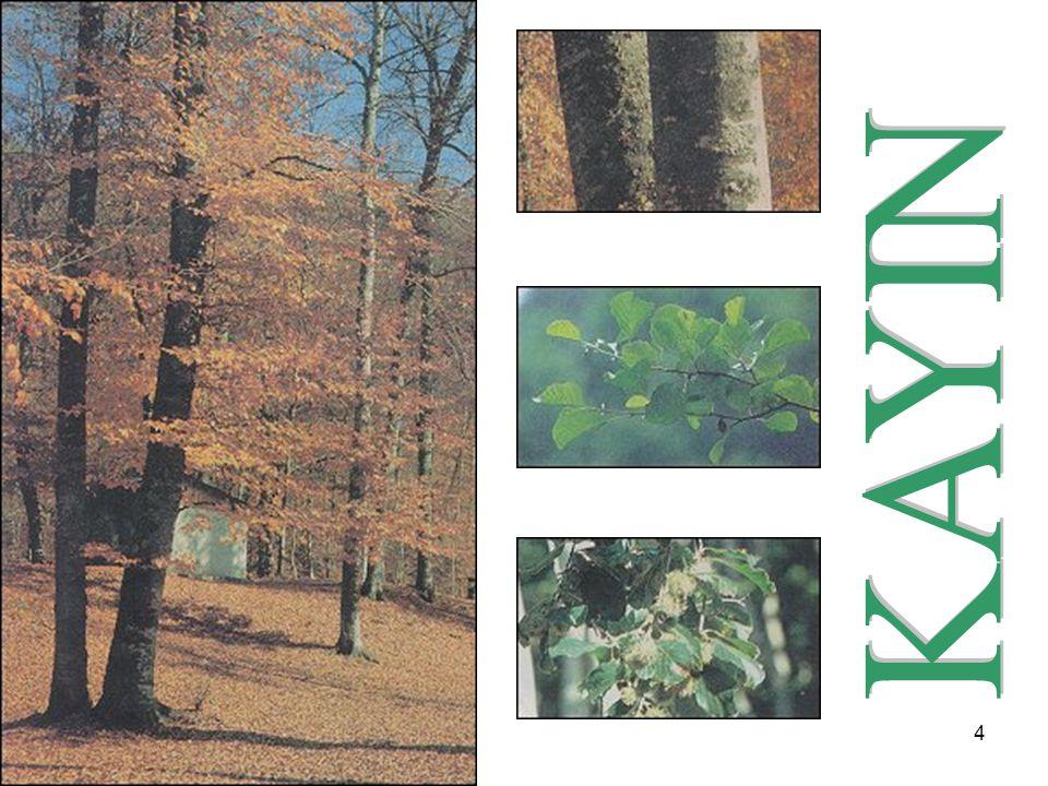 5 Daha çok kuzey bölgelerimizde doğal yayılış göstermekle birlikte kayın ağacı güneydeki Amanoslar da da yayılış gösterir.