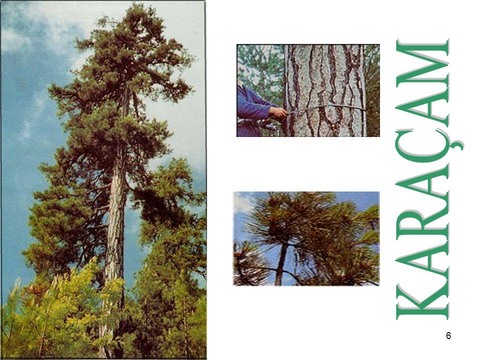17 Tipik bir Akdeniz ağacı olan fıstıkçamı, özellikle Batı ve Güney Anadolu da ormanlar kurar.