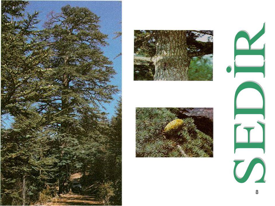 19 SSürüngen çalılardan büyük ağaçlara kadar çok çeşitli türleri olan ardıç, hemen hemen bütün bölgelerimiz yüksek dağlık kesimlerinde doğal yayılış gösterir.