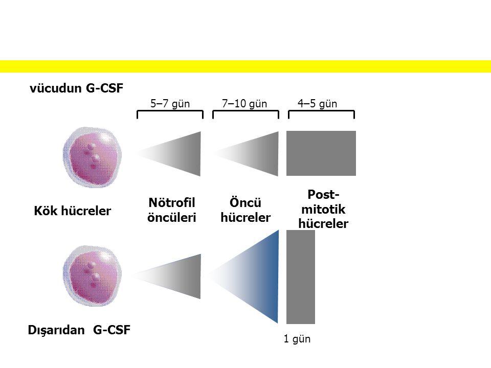 vücudun G-CSF Dışarıdan G-CSF 5–7 gün7–10 gün4–5 gün Kök hücreler Nötrofil öncüleri Öncü hücreler Post- mitotik hücreler 1 gün