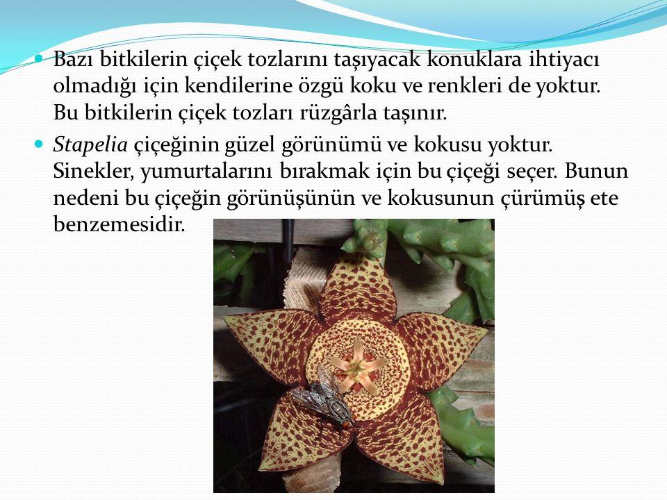  Bazı bitkilerin çiçek tozlarını taşıyacak konuklara ihtiyacı olmadığı için kendilerine özgü koku ve renkleri de yoktur. Bu bitkilerin çiçek tozları