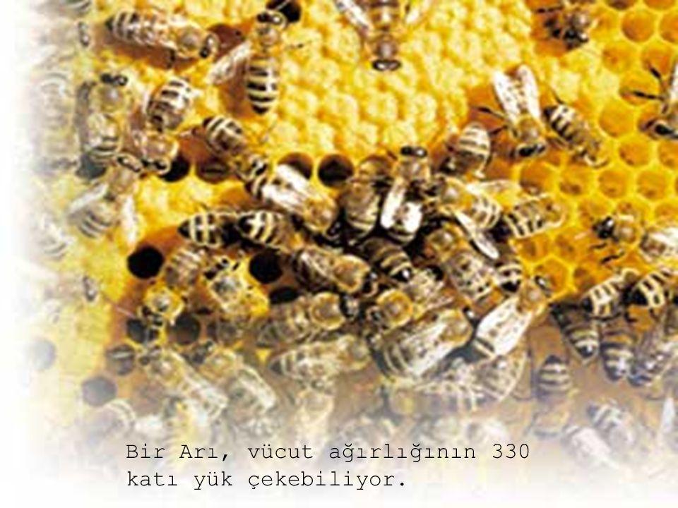 Bu deli çalışmanın arasında, dönüp öbür arı benim kadar dolaşıyor mu? diye kontrol gereğide duymuyor.