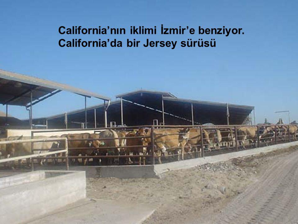 California'nın iklimi İzmir'e benziyor. California'da bir Jersey sürüsü