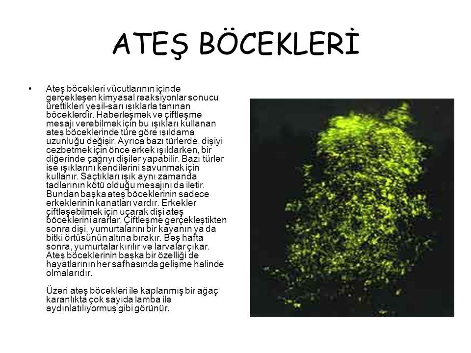 ATEŞ BÖCEKLERİ •Ateş böcekleri vücutlarının içinde gerçekleşen kimyasal reaksiyonlar sonucu ürettikleri yeşil-sarı ışıklarla tanınan böceklerdir.