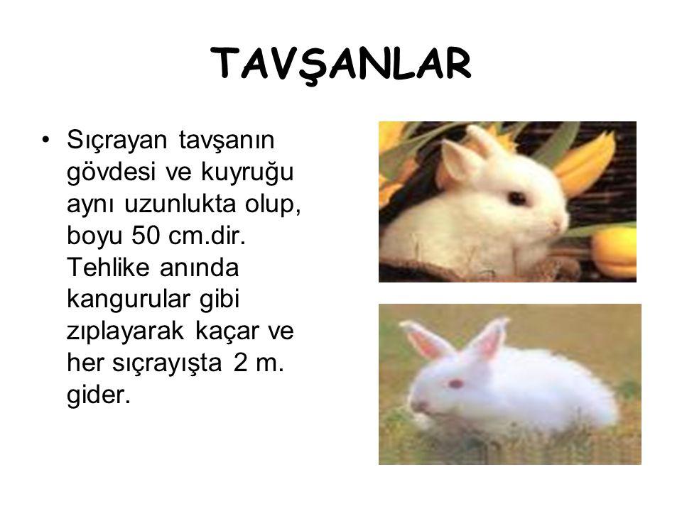 TAVŞANLAR •Sıçrayan tavşanın gövdesi ve kuyruğu aynı uzunlukta olup, boyu 50 cm.dir. Tehlike anında kangurular gibi zıplayarak kaçar ve her sıçrayışta