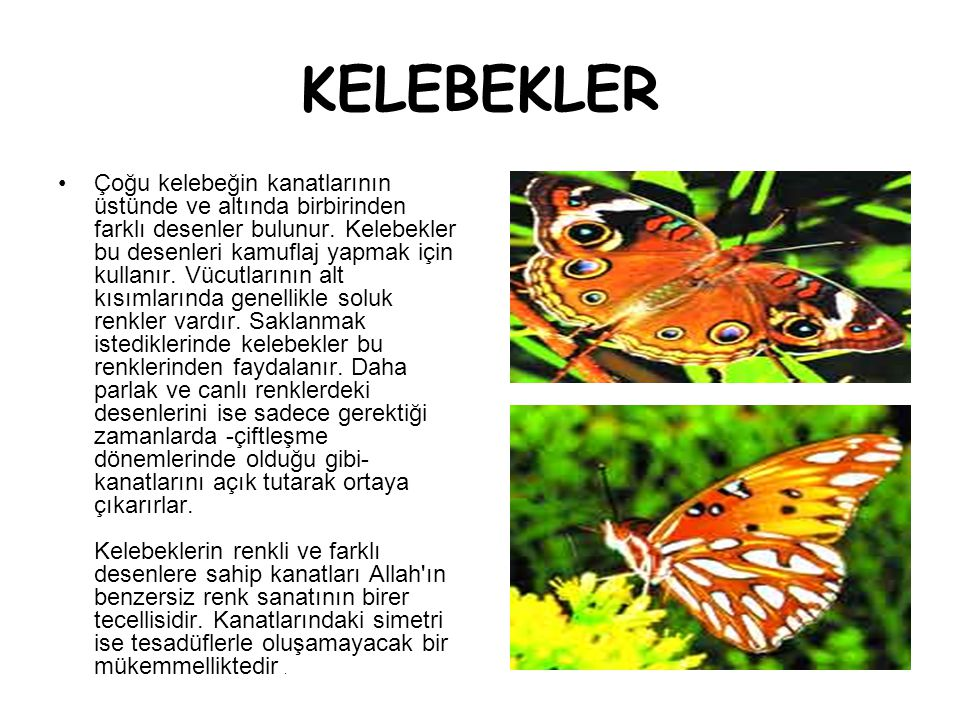 KELEBEKLER •Çoğu kelebeğin kanatlarının üstünde ve altında birbirinden farklı desenler bulunur. Kelebekler bu desenleri kamuflaj yapmak için kullanır.