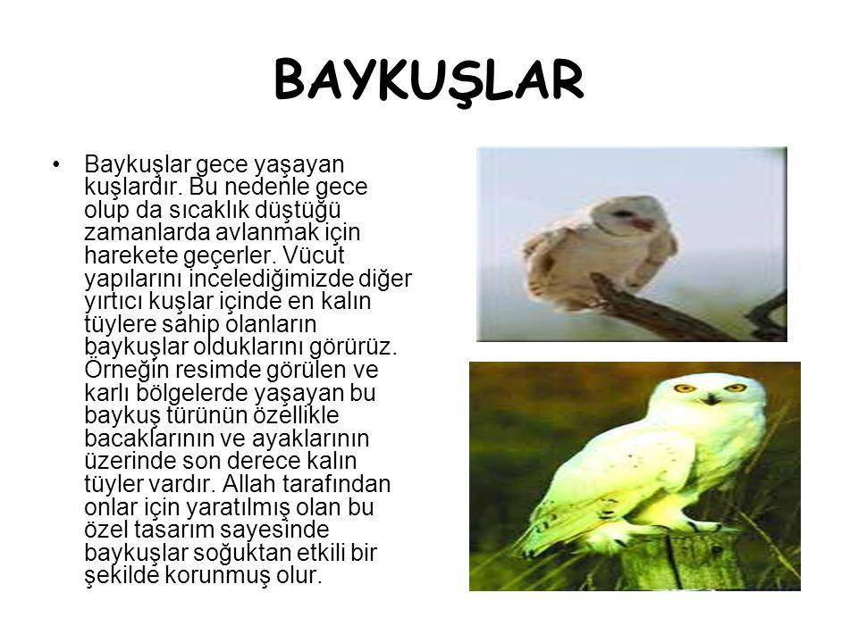 BAYKUŞLAR •Baykuşlar gece yaşayan kuşlardır. Bu nedenle gece olup da sıcaklık düştüğü zamanlarda avlanmak için harekete geçerler. Vücut yapılarını inc