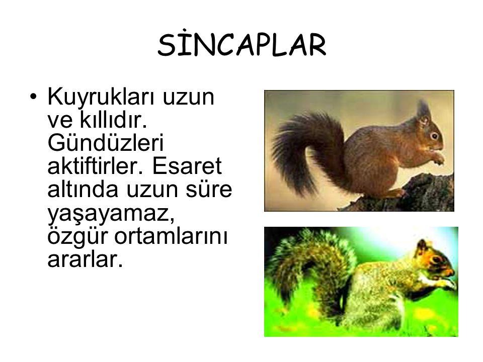 SİNCAPLAR •K•Kuyrukları uzun ve kıllıdır. Gündüzleri aktiftirler. Esaret altında uzun süre yaşayamaz, özgür ortamlarını ararlar.