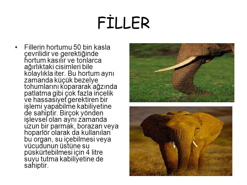 FİLLER •Fillerin hortumu 50 bin kasla çevrilidir ve gerektiğinde hortum kasılır ve tonlarca ağırlıktaki cisimleri bile kolaylıkla iter.