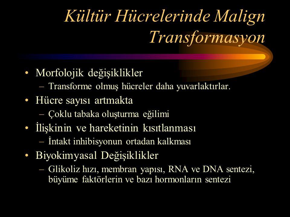 Kültür Hücrelerinde Malign Transformasyon •Morfolojik değişiklikler –Transforme olmuş hücreler daha yuvarlaktırlar. •Hücre sayısı artmakta –Çoklu taba