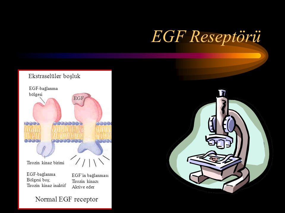 EGF Reseptörü Tirozin kinaz sürekli olarak aktif. ErbB proteini Normal EGF receptor EGF'in bağlanması Tirozin kinazı Aktive eder Tirozin kinaz birimi
