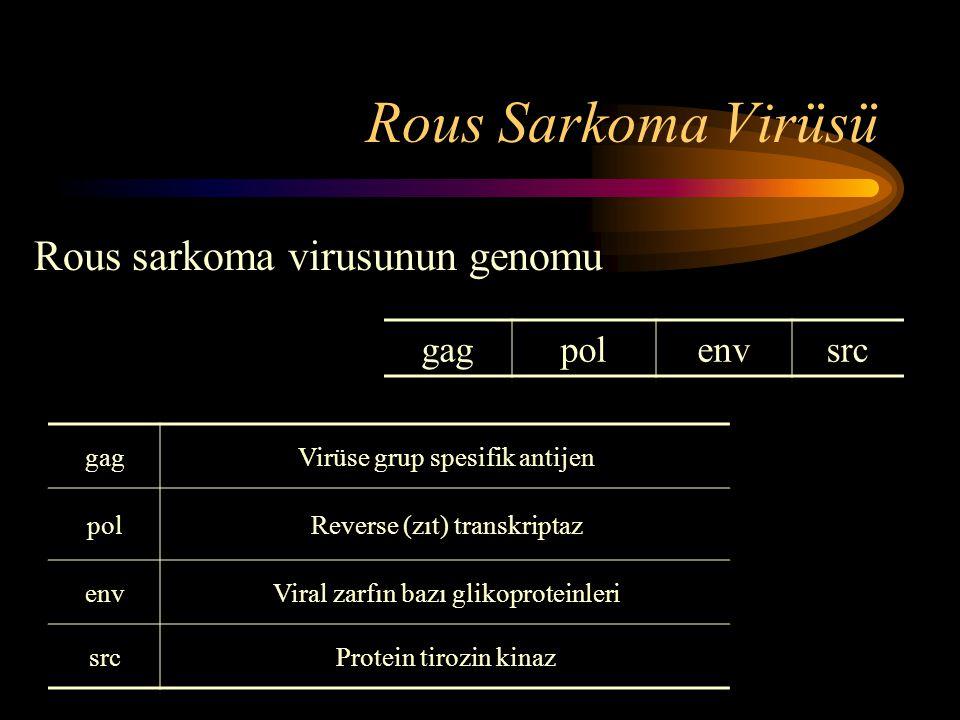 Rous Sarkoma Virüsü gagVirüse grup spesifik antijen polReverse (zıt) transkriptaz envViral zarfın bazı glikoproteinleri srcProtein tirozin kinaz Rous
