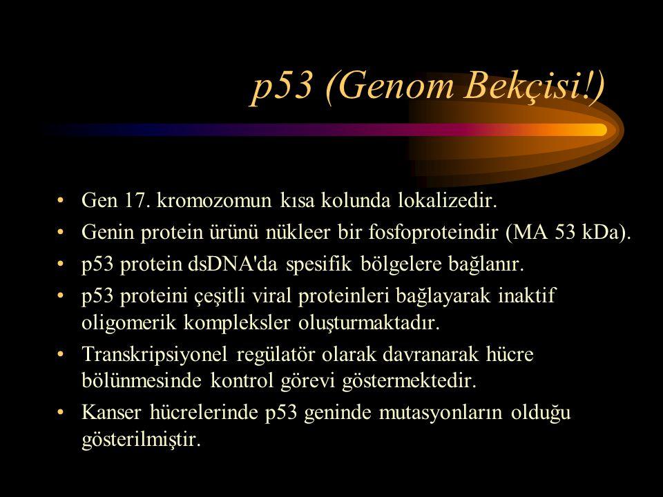 p53 (Genom Bekçisi!) •Gen 17. kromozomun kısa kolunda lokalizedir. •Genin protein ürünü nükleer bir fosfoproteindir (MA 53 kDa). •p53 protein dsDNA'da
