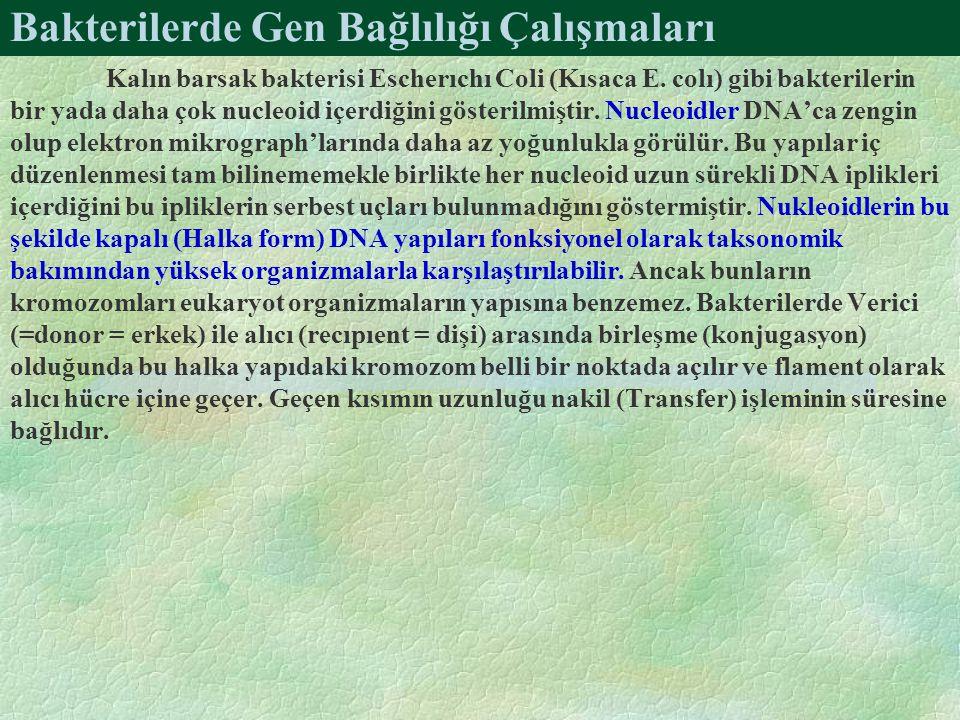Bakterilerde Gen Bağlılığı Çalışmaları Kalın barsak bakterisi Escherıchı Coli (Kısaca E.