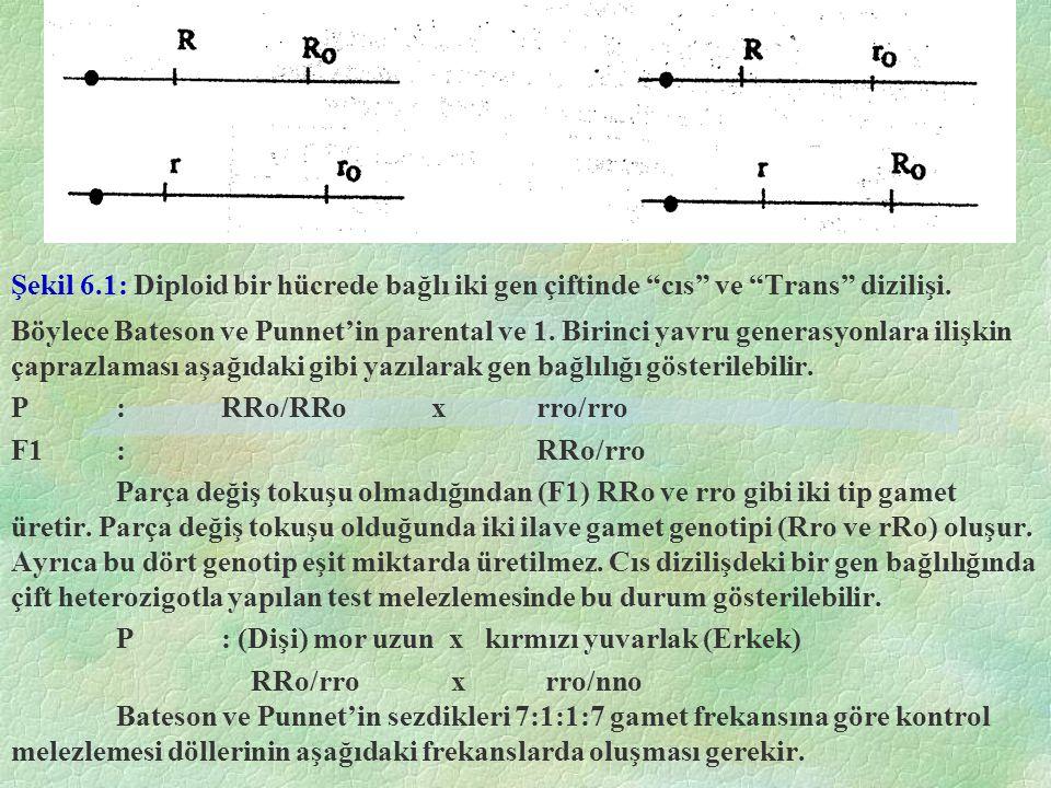Şekil 6.1: Diploid bir hücrede bağlı iki gen çiftinde cıs ve Trans dizilişi.