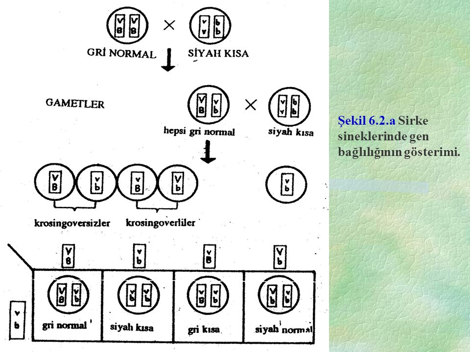 Şekil 6.2.b. Sirke sineklerinde krossing-over in işlem basamakları.