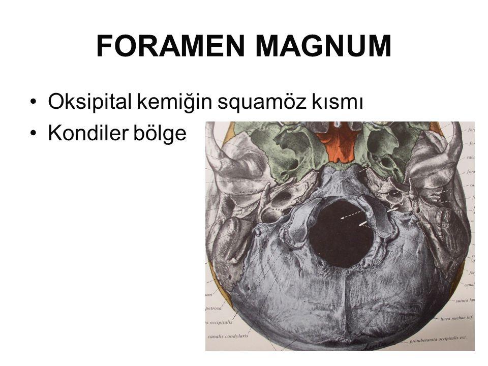 FORAMEN MAGNUM •Oksipital kemiğin squamöz kısmı •Kondiler bölge