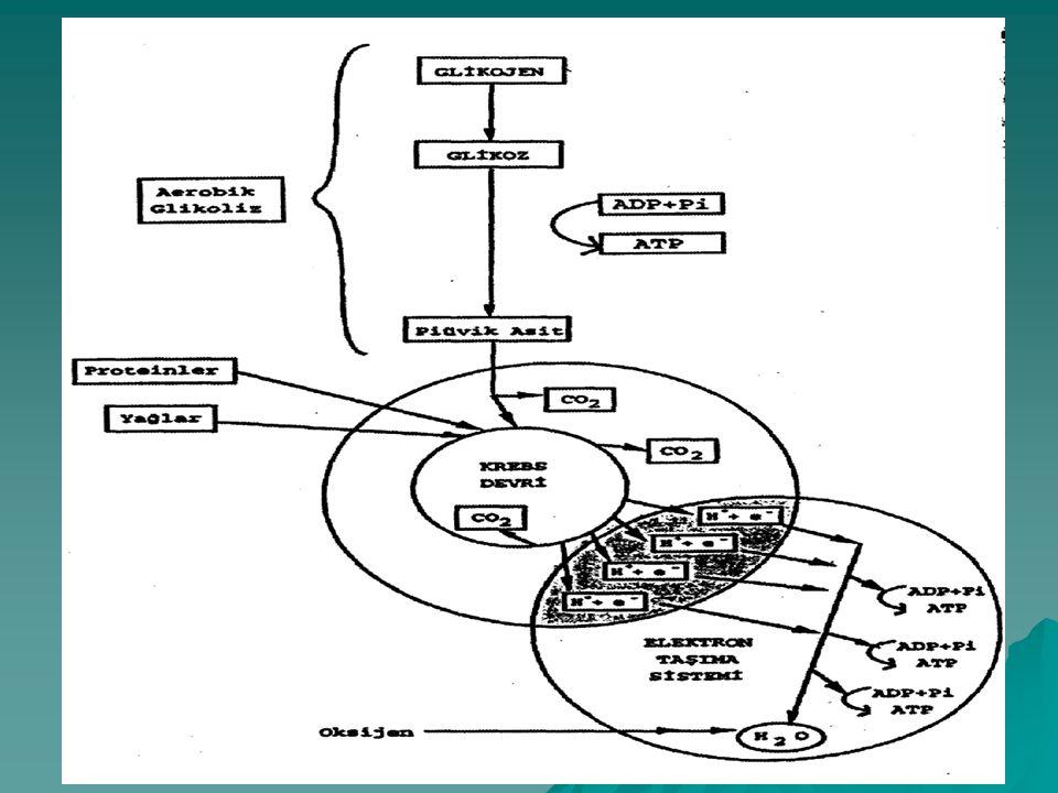 Aerobik sistemde genel olarak 3 aşama vardır; 1. a) Aerobik glikoliz (glukozun oksijenli ortama giriş için parçalanması) b) Beta-oksidasyon (Yağ asitl