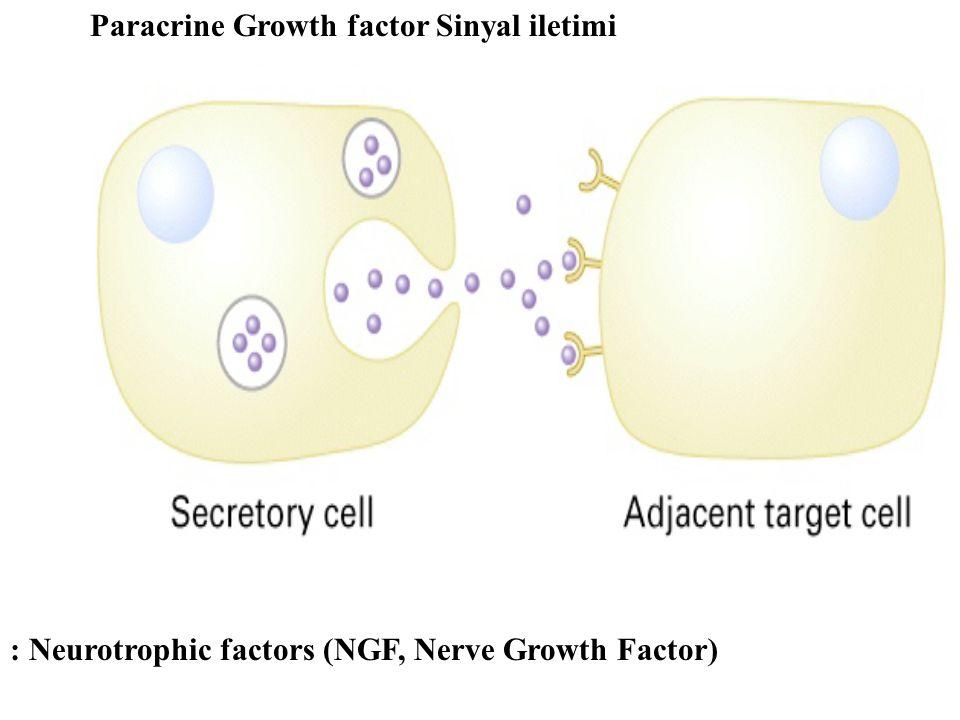 Paracrine Growth factor Sinyal iletimi : Neurotrophic factors (NGF, Nerve Growth Factor)