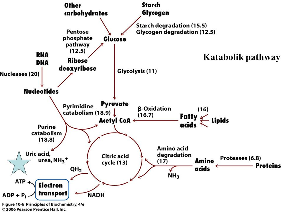 Açlık süresince Karaciğerde metabolizma