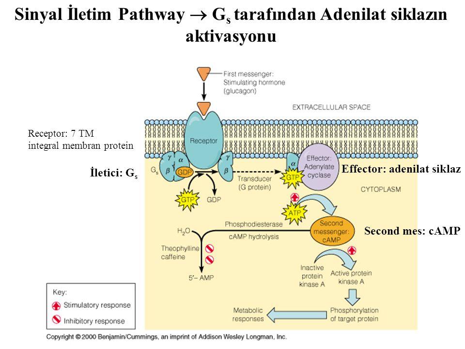 Sinyal İletim Pathway  G s tarafından Adenilat siklazın aktivasyonu Receptor: 7 TM integral membran protein Effector: adenilat siklaz Second mes: cAM