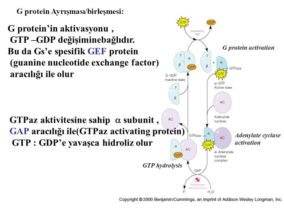 G protein Ayrışması/birleşmesi: G protein'in aktivasyonu, GTP –GDP değişiminebağlıdır. Bu da Gs'e spesifik GEF protein (guanine nucleotide exchange fa
