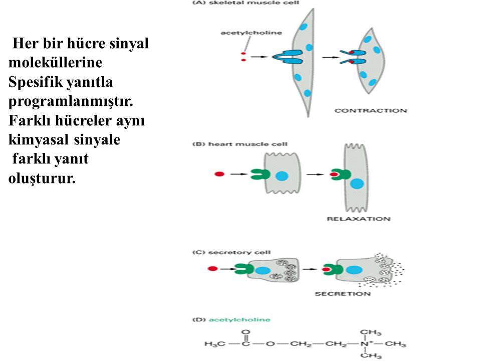 Her bir hücre sinyal moleküllerine Spesifik yanıtla programlanmıştır. Farklı hücreler aynı kimyasal sinyale farklı yanıt oluşturur. Molecular Biology