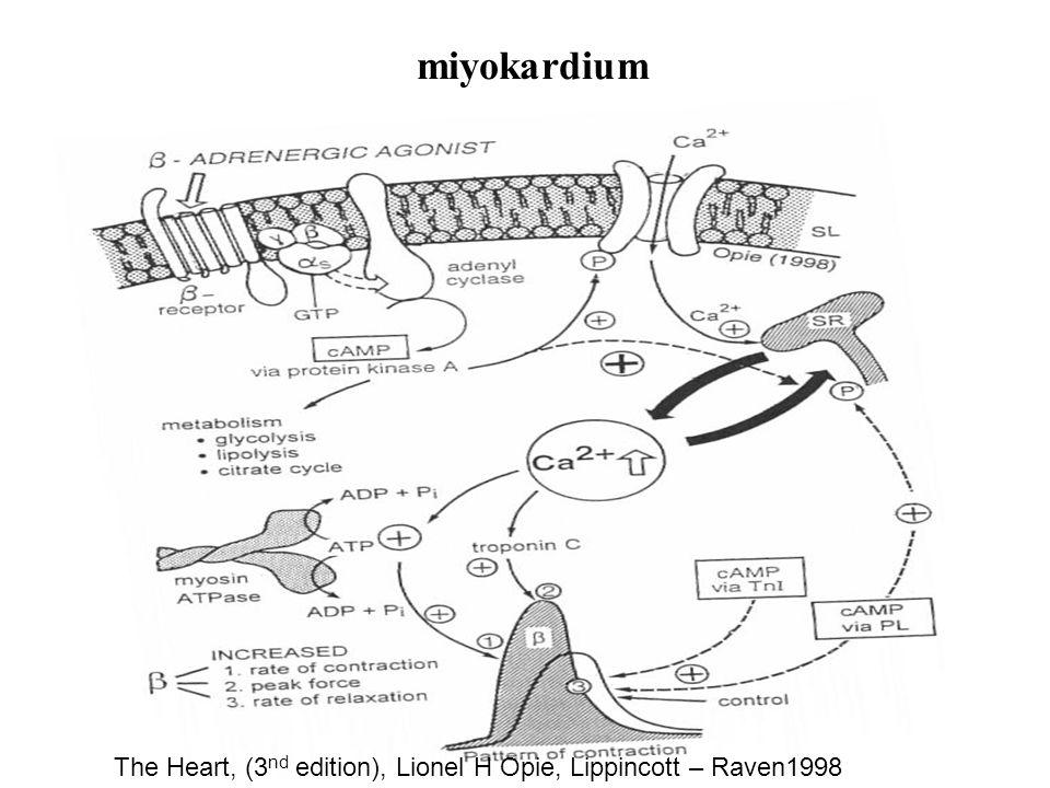 miyokardium The Heart, (3 nd edition), Lionel H Opie, Lippincott – Raven1998