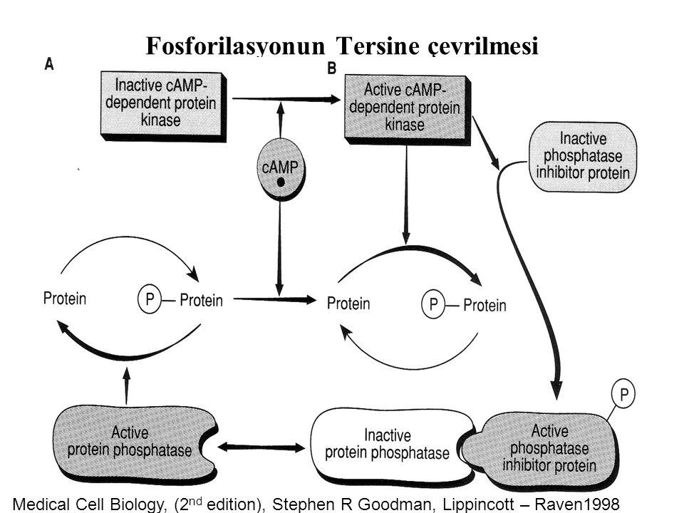 Fosforilasyonun Tersine çevrilmesi Medical Cell Biology, (2 nd edition), Stephen R Goodman, Lippincott – Raven1998