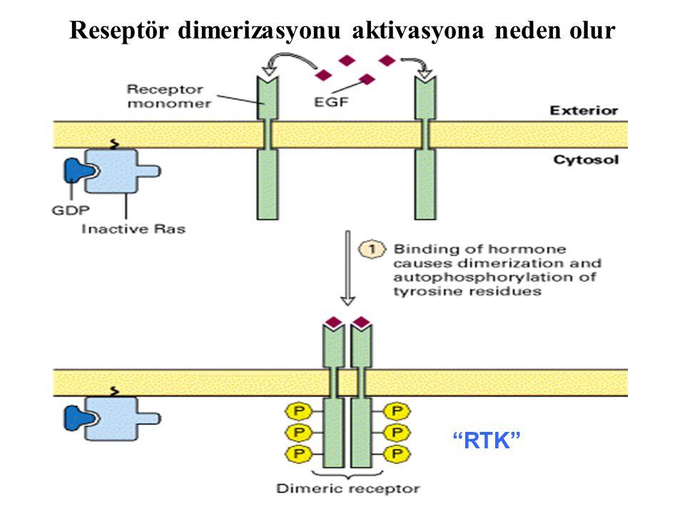"""Reseptör dimerizasyonu aktivasyona neden olur """"RTK"""""""