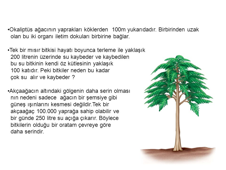 •Okaliptüs ağacının yaprakları köklerden 100m yukarıdadır. Birbirinden uzak olan bu iki organı iletim dokuları birbirine bağlar. •Tek bir mısır bitkis