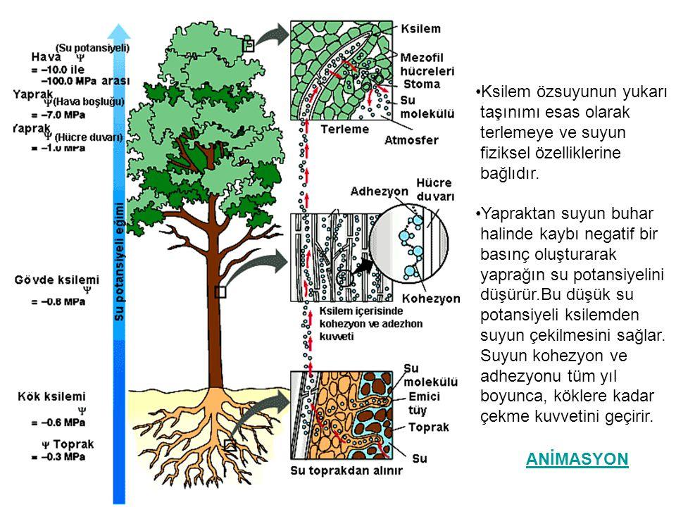 •Ksilem özsuyunun yukarı taşınımı esas olarak terlemeye ve suyun fiziksel özelliklerine bağlıdır. •Yapraktan suyun buhar halinde kaybı negatif bir bas