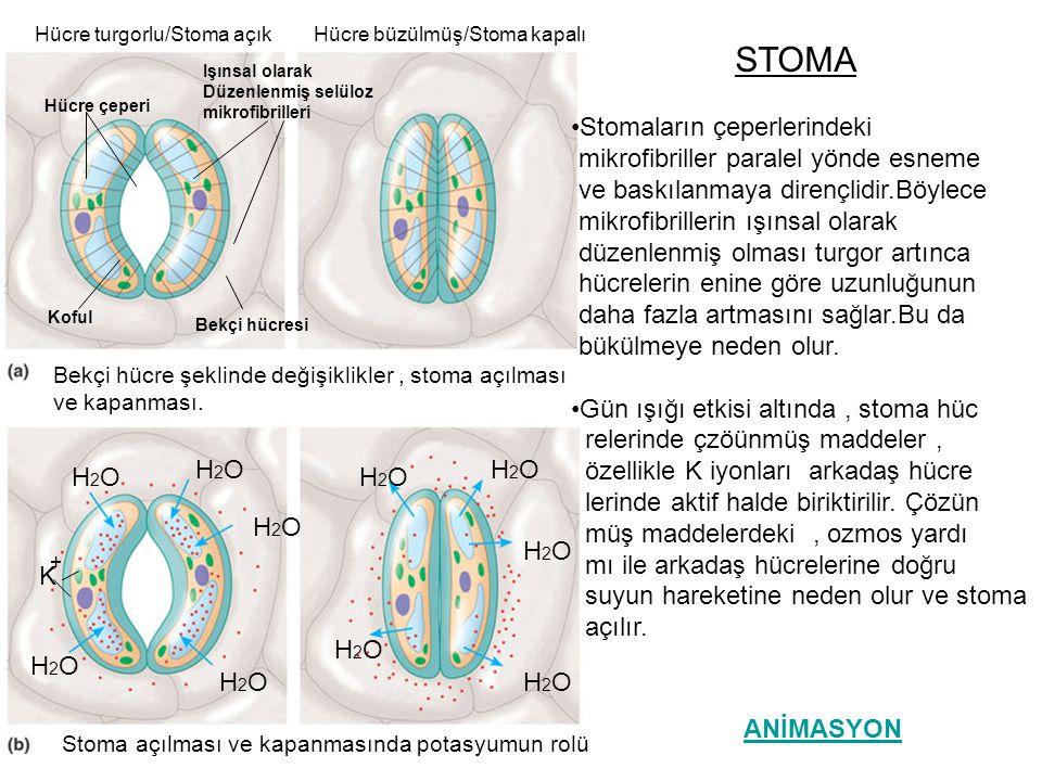 •Stomalar, bekçi hücrelerinin dışına H nin aktif taşınımı ile ilişkili olarak açılır.H nin dışarı atılmasıyla oluşan voltaj özel zar kanallarından K un hücreye girmesini sağlar.