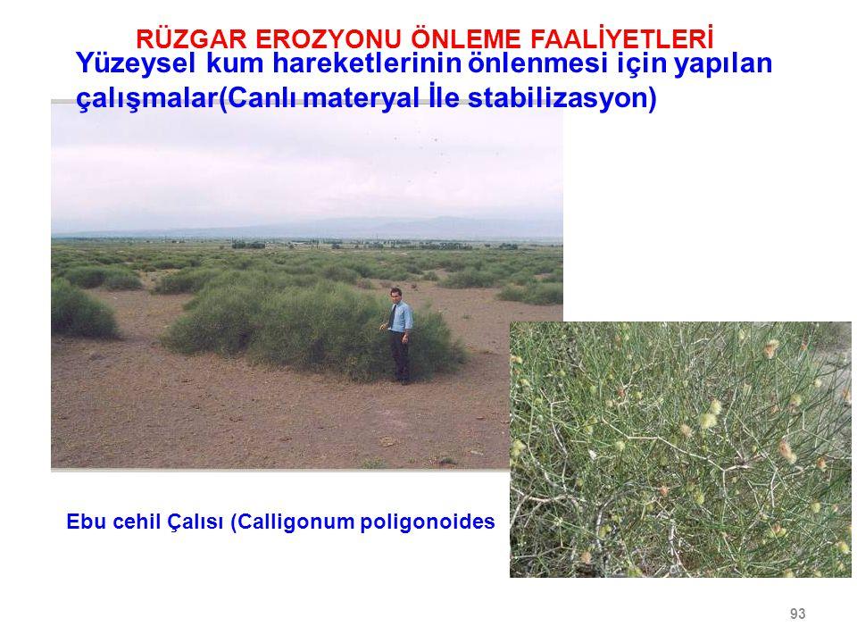 93 Ebu cehil Çalısı (Calligonum poligonoides RÜZGAR EROZYONU ÖNLEME FAALİYETLERİ Yüzeysel kum hareketlerinin önlenmesi için yapılan çalışmalar(Canlı materyal İle stabilizasyon)