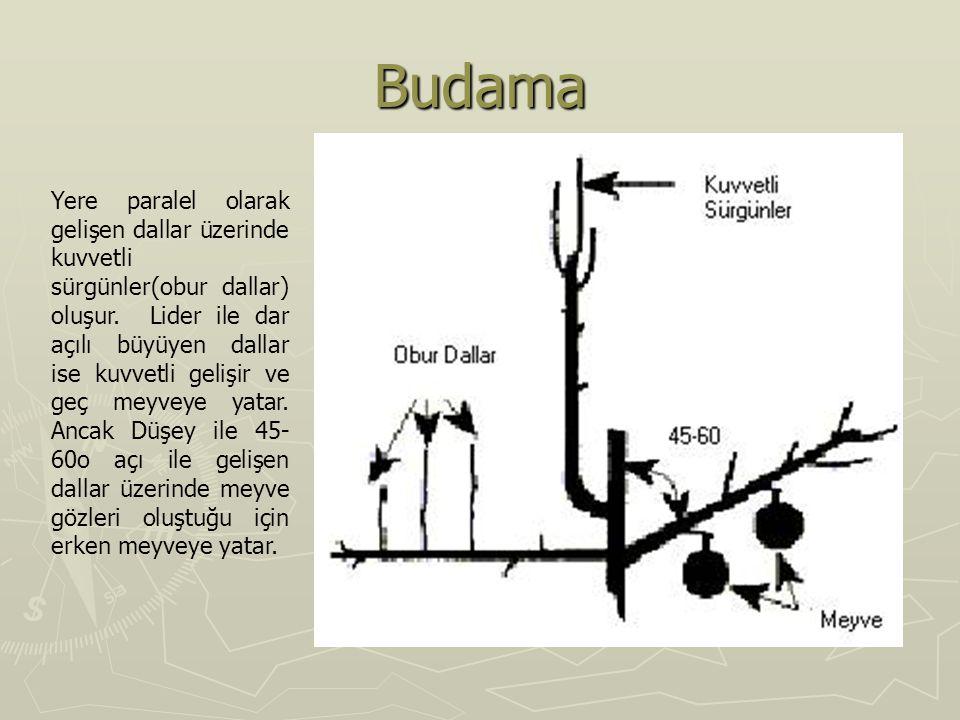 Budama Yere paralel olarak gelişen dallar üzerinde kuvvetli sürgünler(obur dallar) oluşur. Lider ile dar açılı büyüyen dallar ise kuvvetli gelişir ve