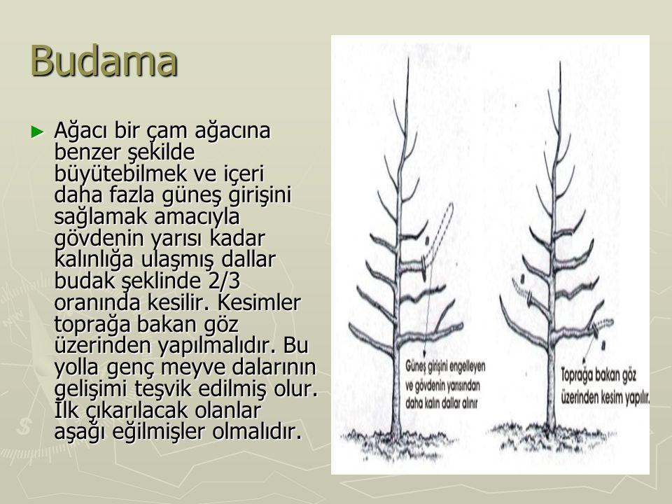 Budama ► Ağacı bir çam ağacına benzer şekilde büyütebilmek ve içeri daha fazla güneş girişini sağlamak amacıyla gövdenin yarısı kadar kalınlığa ulaşmış dallar budak şeklinde 2/3 oranında kesilir.