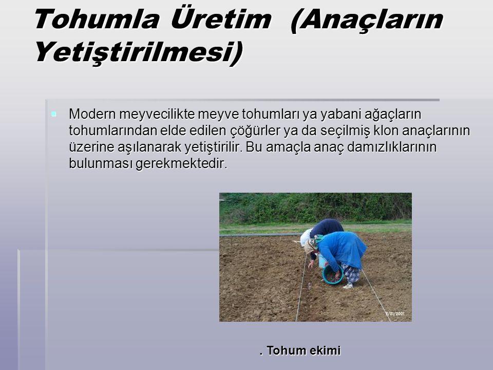 Tohumla Üretim (Anaçların Yetiştirilmesi)  Modern meyvecilikte meyve tohumları ya yabani ağaçların tohumlarından elde edilen çöğürler ya da seçilmiş