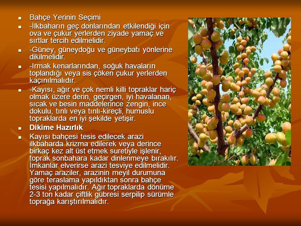 Kayısının Besin Değeri ve İnsan Sağlığına Yararları  Kayısı ihtiva organik ve anorganik maddeler vasıtasıyla insan sağlığına olumlu etkilere sahip bir meyvedir.