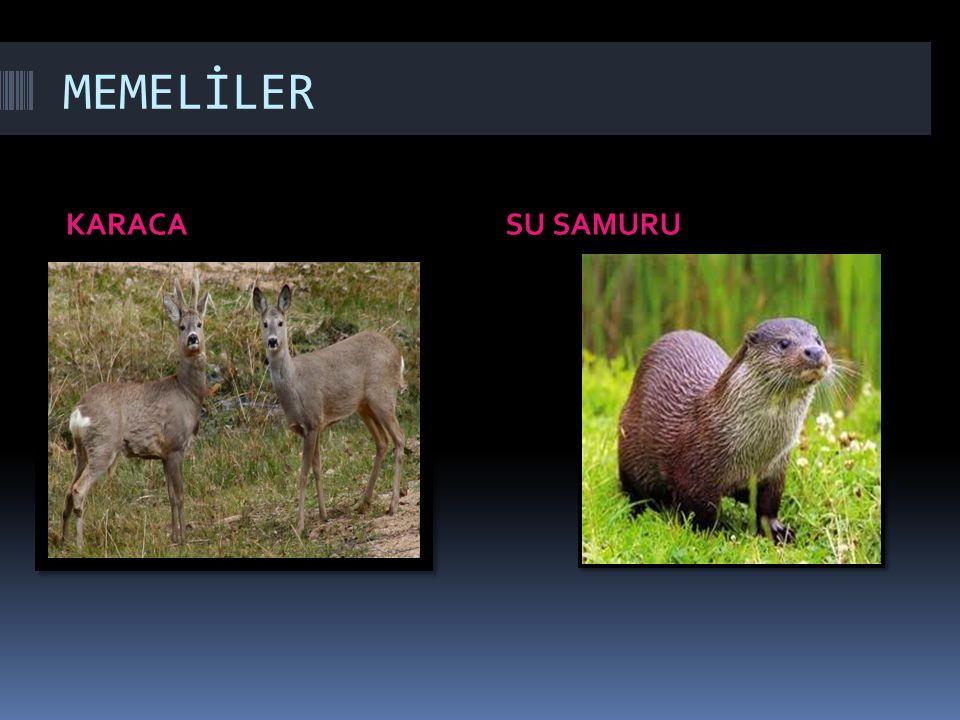 MEMELİLER KARACASU SAMURU