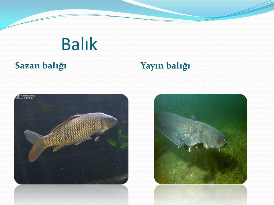 Balık Sazan balığı Yayın balığı