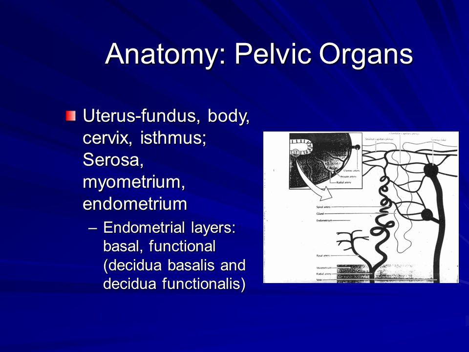Anatomy: Pelvic Organs Uterus-fundus, body, cervix, isthmus; Serosa, myometrium, endometrium –Endometrial layers: basal, functional (decidua basalis a