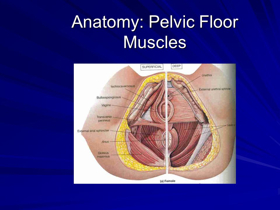 Anatomy: Pelvic Innervation Pelvic splanchnic nerves from 2nd to 4th sacral nerves Pudendal nerve supplies vulva and lower vagina