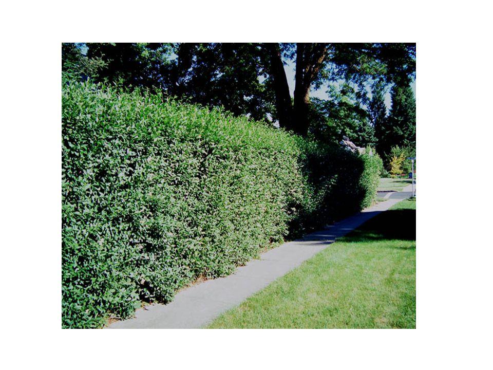 Bu çalı ve bir kaç tane japon türü bahçelerdeki çit bitkisi kullanımı için kültive edilmektedir.