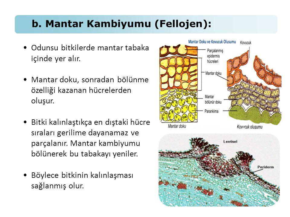 b. Mantar Kambiyumu (Fellojen): •Odunsu bitkilerde mantar tabaka içinde yer alır. •Mantar doku, sonradan bölünme özelliği kazanan hücrelerden oluşur.