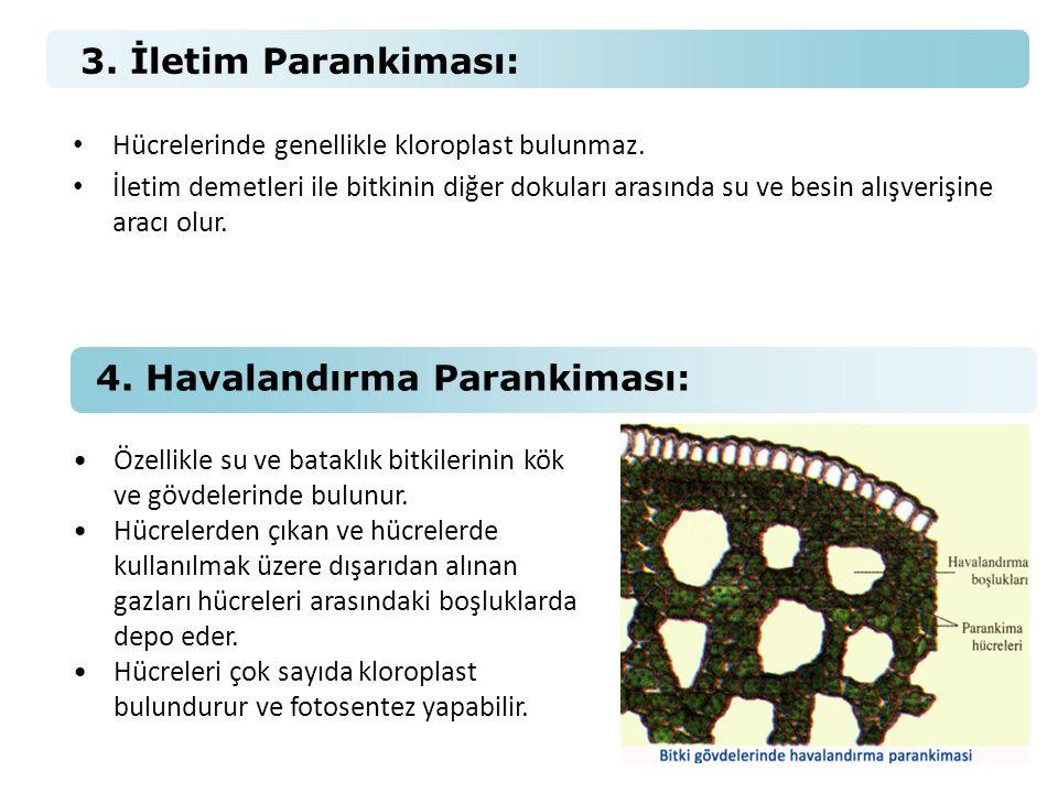 4. Havalandırma Parankiması: •Özellikle su ve bataklık bitkilerinin kök ve gövdelerinde bulunur. •Hücrelerden çıkan ve hücrelerde kullanılmak üzere dı
