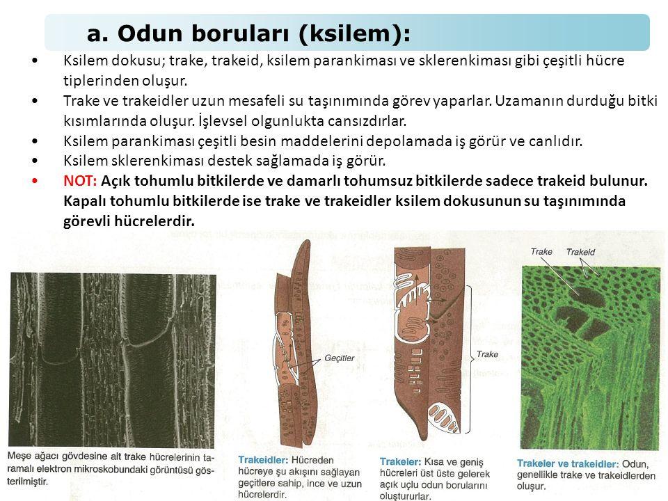 a. Odun boruları (ksilem): •Ksilem dokusu; trake, trakeid, ksilem parankiması ve sklerenkiması gibi çeşitli hücre tiplerinden oluşur. •Trake ve trakei